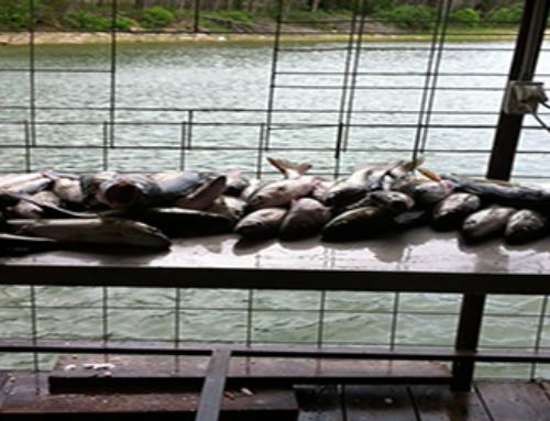 It's Lake Texoma Striper Fishing Season